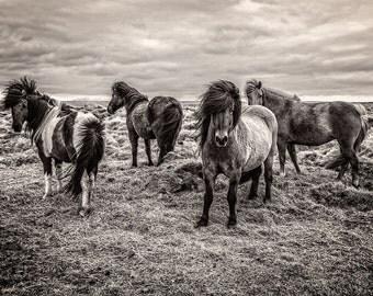 Black & White Photography - Nature - Wall Art - Decor - Icelandic Horses