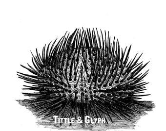Sea Urchin 9 x 12 Print