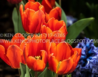 Red Tulips, Tulips, Flowers, Floral, Spring Flowers, Tulips