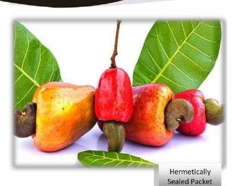 """Cashew Nut """"Anacardium occidentalis"""" 5 Seeds Packet"""