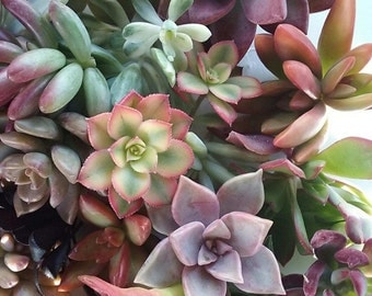 20 Succulent Rosettes  and 75 cuttings
