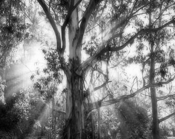 Eucalyptus Tree - Fog - Marin