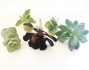 """5 Assorted( 2-4"""")Succulent Cuttings"""