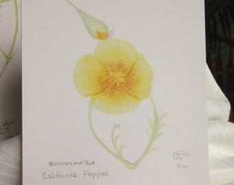 California Poppy Blossom and Bud