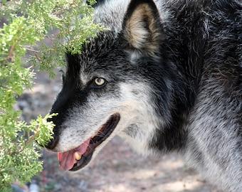 Grey Wolf Photograph, Nature Photography, Gray Wolf Photo