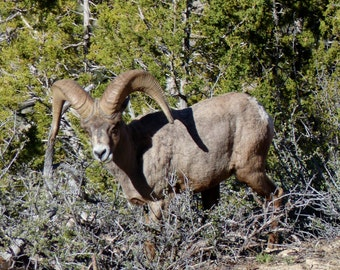 The Famed Big Horn Sheep of Zion