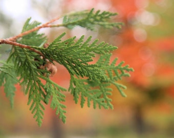 Conifer in Fall