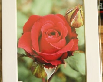 5x7 Matted Single Red Rose Photo