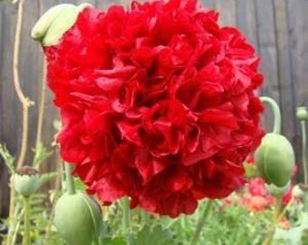 Red Poppy Double Peony Seeds, Papaver Somniferum