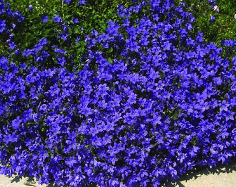 Campanula Carpatica Blue Seeds- Blooms allsummer long,perennial,