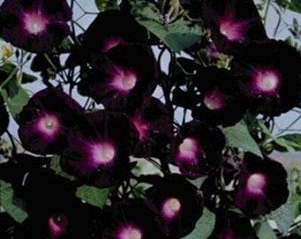 Morning Glory Kniolas Black 10 Seeds