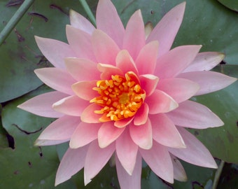 Water Lily Plant 'Colorado' Stunning Pink To Orange Flowers