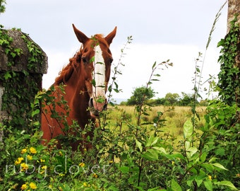 Ginger Horse, County Kerry, Ireland Landscape, Tralee, Brown Horse Photo, Equine Photography, Country Decor, Horse Art, Gift for Horse Lover