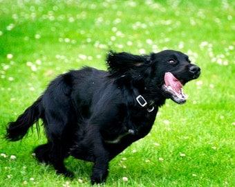 dog Photographs, dog photos, cocker spaniel, whippet, running dogs,  animal photo, wall decor, childs room,  Office decor,
