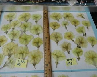 Choose your Real Pressed Flowers Petunias Grown in Alaska 529 FL