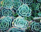 Sedum art print / succulent photograph / aqua blue wall art / garden plant / 'Sedum Garden'