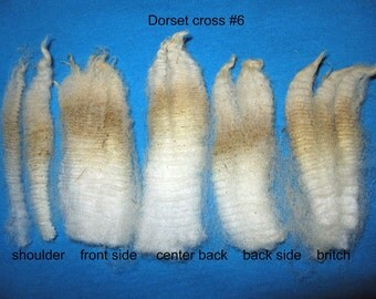 DORSET cross, small raw fleece with loft for wooly wool projects.