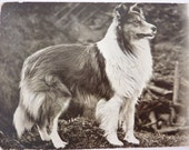 Rough Collie Dog - Antique Postcard - With Burns Quote