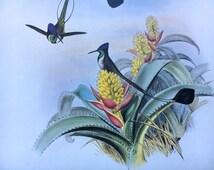 Hummingbird ~Vintage Bird  Print, Nature Illustration, Book Plate ~ Loddigesia Mirabilis ~ Spathura Underwoodi
