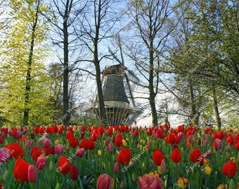Red Spring Tulips & Windmill of Keukenhof Gardens Park Lisse Holland Netherlands Dutch Countryside Fine Art Photography Wall Photo Print