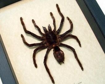 Real Framed Euryplema Spinicrus Medium Hairy Tarantula Spider 7930M