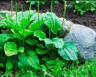 Plantain Skin Salve