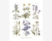 Botanical Print of Meadowland Flowers in Hues of Yellow, Lavender and Blue Adapted from Vintage Illustrations - Pate IV