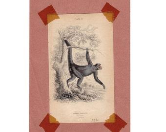 ANTIQUE MONKEY ENGRAVING from 1830 - original antique animal print - the caoita spider monkey