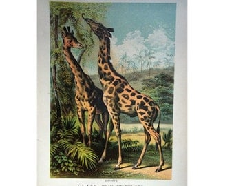 1880 ANTIQUE GIRAFFE LITHOGRAPH animal habitat original antique african safari print lithograph - ungulata