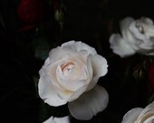 Almost White  Rose Floral Modern Flower Photography Large Scale Fine Art Photography