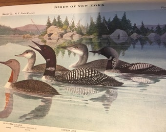 Circa 1915 Plate 2 approx. 7 x 10 print image loons. Red-throated loon, common loon, and black throated loon.