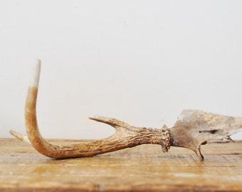 Single Deer Antler 3 Point Modern Farmhouse Rustic Home Decor Real Animal Bone Skull