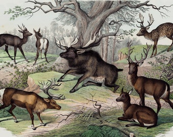 "1860 Rare Large amazing antique DEER print, reindeer, elk, moose, 156 years old, size 17'' x 13"" inches"