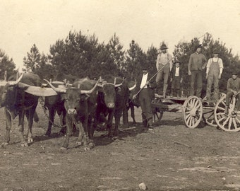 Long Horn Ox TEAM PULLING WAGON in Farming Photo Postcard Circa 1910