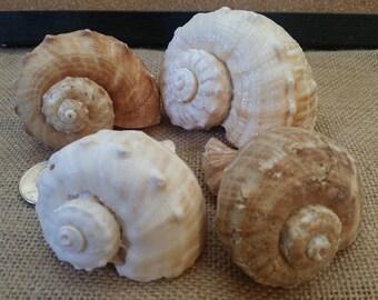 Whelk Conch Shells/ Rapa Rapana Rapiformis/ Hermit Crab Shell/ Tan, Brown and White/ Murex Rock Shells