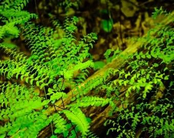 Ferns,peaceful forest print,maidenhair fern,cool green,Nature Photography,woodland,fresh,forest floor,nature home decor,forest green,zen