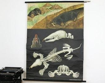 Vintage Pull Down Chart, Mole, Jung Koch Quentell
