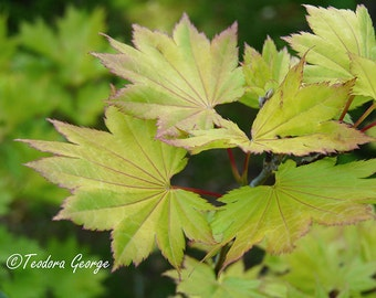 Maple Leaves Photography, Garden Photography, Plant Photography, Botanical Photography, Leaves Photography, Green Leaves
