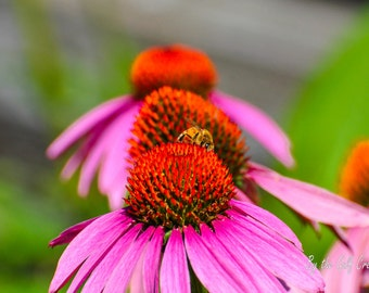 Honey Bee, Daisies, Fine Art Print, Nature Photography, 8X10, Glossy, Floral Photography