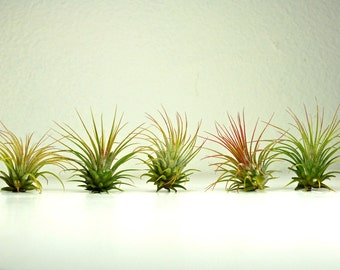 A Set of 5 Air Plants - Big Tillandsia Air Plants for Planters and Terrariums, DIY Terrarium Air Plants, Air Plant Gifts, Terrarium Plants