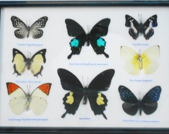 REAL 8 BEAUTIFUL BUTTERFLY Collection in Frame / BF20y