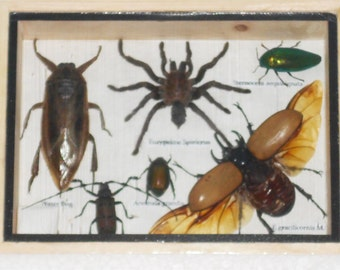 Real Mixed Beetle Spider Insect Boxed Framed Taxidermy Display Wood Box For Collectibles /S08RR