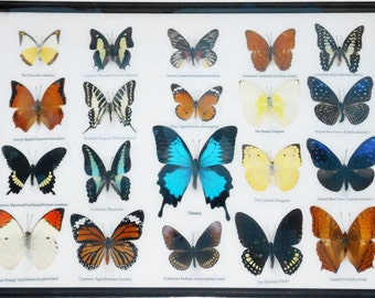 REAL 20 Butterflies Wall Decor Housewares Collectible TAXIDERMY Framed Extra ULYSSES/BTF14I