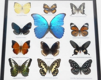 REAL 12 Mix Butterflies Framed for Sale Wall Decor Collectible Specimen Display Insect Taxidermy Extra BLUE MORPHO Didius /B03G