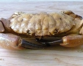 "Philippine Reef Crab 4"" marteng preserved taxidermy sealife preserved dried crab ocean decor beach theme unique gifts wedding"
