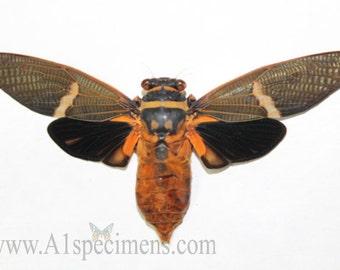 Tosena Melonoptera A1 Cicada Specimen