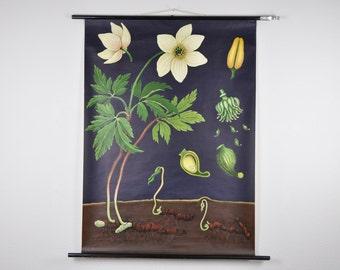 20% OFF Original Mid Century Botany Print. Wind flower (Anemone nemorosa). Pull Down School Chart. Jung Koch Quentell. Germany. 1069