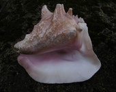 Medium Blowing Conch / Shell Trumpet