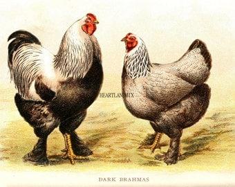 LARGE Kitchen Wall Art Download Printable Digital Image of Brahma Chicken Pair