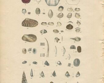 Antique Print.Original.Authentic.RARE. Sowerby.British Shells.Conchology.Hand Coloured.Color. Antique Book. Steel Engraving.Vintage 188